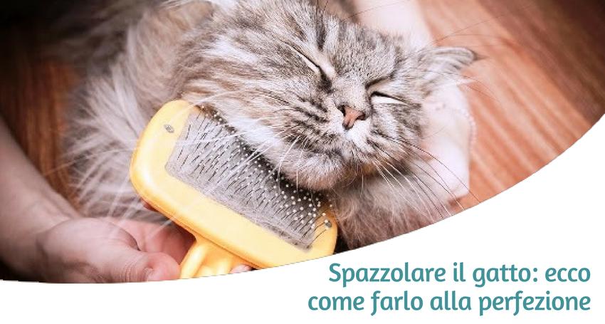 Qual è Il Miglior Modo Di Spazzolare E Pettinare Il Gatto Paco
