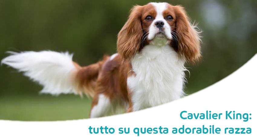Cavalier King Il Cane Dei Principi Storia E Caratteristiche Di