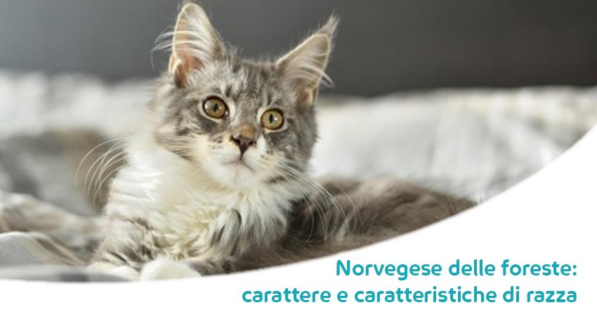 Norvegese Delle Foreste Carattere Caratteristiche E Storia Della