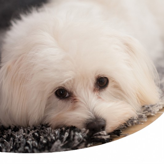 Sindrome Dei Cani Dal Manto Bianco Sindrome Di Shaker O Sindrome