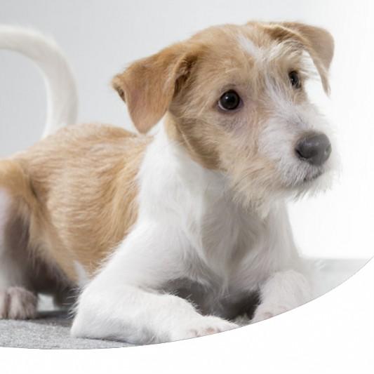 Le Razze Migliori Di Cani Da Compagnia Paco