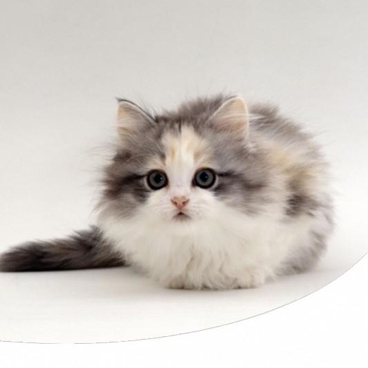 Gatto Munchkin La Razza Di Gatto Nano Che Ha Conquistato Tutti Paco