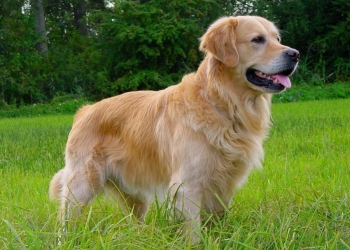 GOLDEN RETRIEVER AMERICAN E ENGLISH CREAM: STESSA RAZZA MA PICCOLE DIFFERENZE